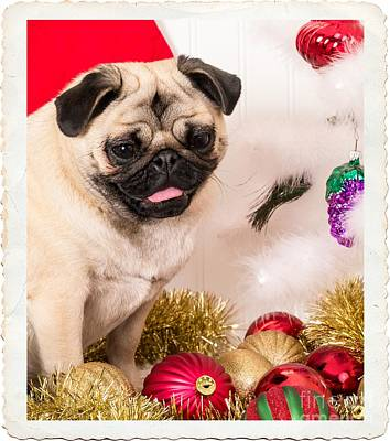 Pug Wall Art - Photograph - Christmas Morning by Edward Fielding