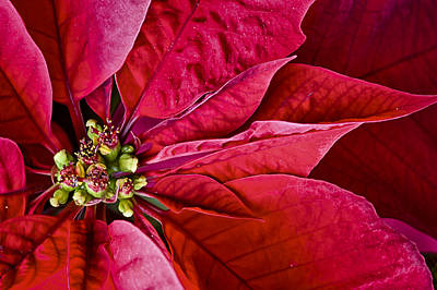 Photograph - Christmas Petals by Christi Kraft