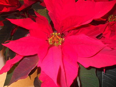 Photograph - Christmas Poinsetta by Carol L Miller