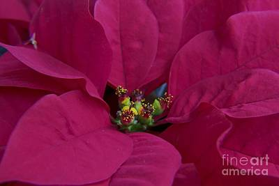 Flower Photograph - Christmas Poinsettia by Darleen Stry