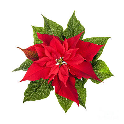 Poinsettia Photograph - Christmas Poinsettia  by Elena Elisseeva