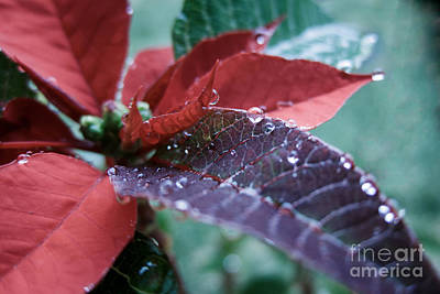 Photograph - Christmas Poinsettia With Dewdrops by Peta Thames