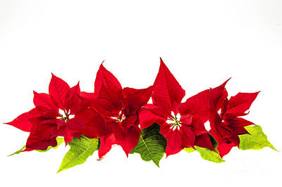 Photograph - Christmas Poinsettias by Elena Elisseeva