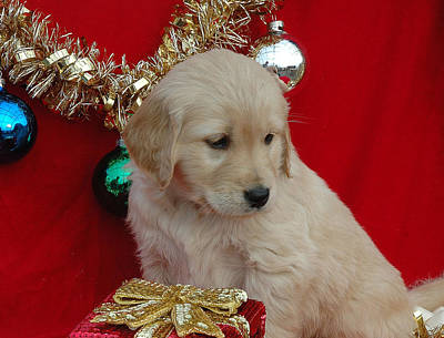 Photograph - Christmas Pup by Paul Miller