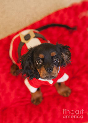 Photograph - Christmas Puppy by Kay Pickens