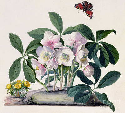 Fluttering Painting - Christmas Rose by Georg Dionysius Ehret