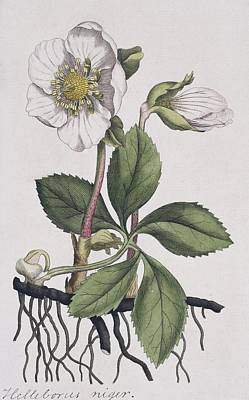 Christmas Rose, Historical Artwork Print by Science Photo Library