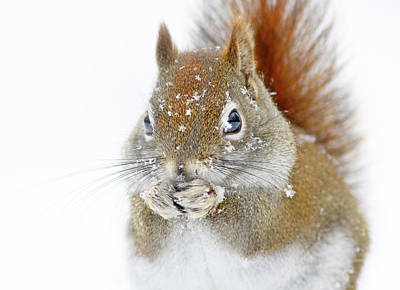 Christmas Squirrel Print by Mircea Costina