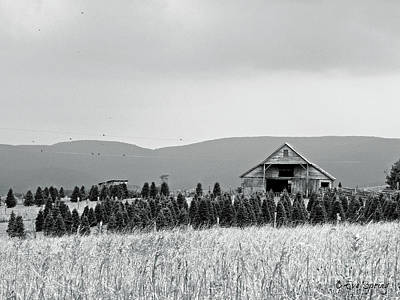 Photograph - Christmas Tree Farm - Bw by Eve Spring