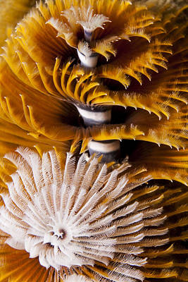 Photograph - Christmas Tree Worms by J Gregory Sherman