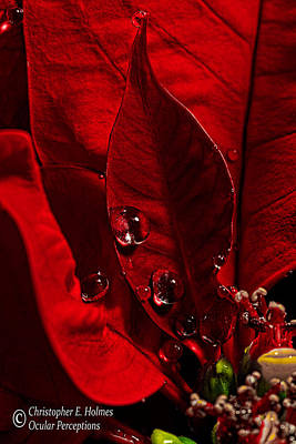 Photograph - Christmas Velvet by Christopher Holmes