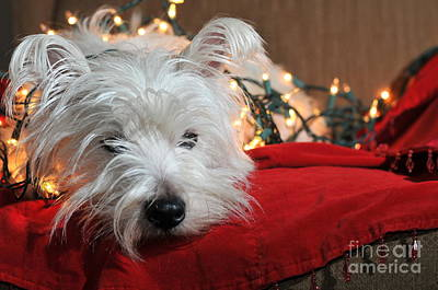 Christmas Westie Art Print by Catherine Reusch Daley