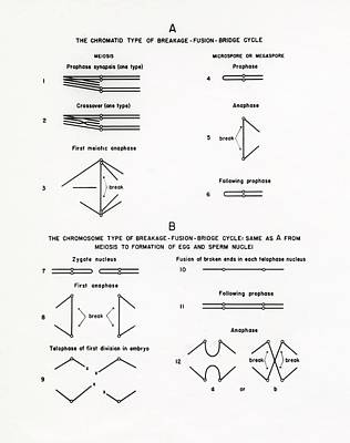 Chromosome Breakage Diagrams Art Print by American Philosophical Society