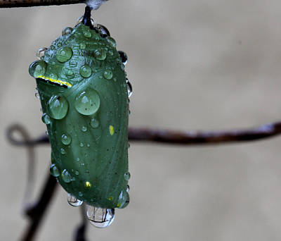 Photograph - Chrysalis by April Wietrecki Green