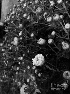 Photograph - Chrysanthemes Original by Morgan Veissiere