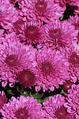 Photograph - Chrysanthemum 1 by Bj Hodges
