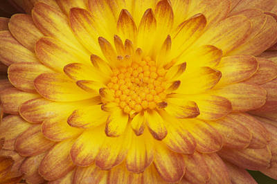 Photograph - Chrysanthemum by Byron Jorjorian