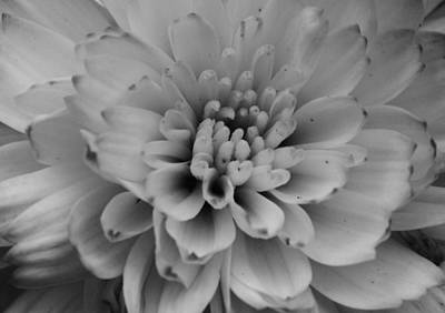 Photograph - Chrysanthemum by Dan Sproul