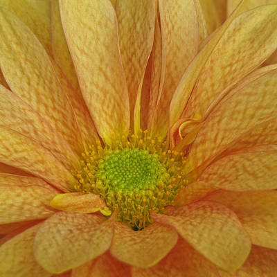 Photograph - Chrysanthemum by David and Carol Kelly