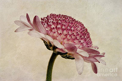 Macro Digital Art - Chrysanthemum Domino Pink by John Edwards