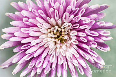 Mums Photograph - Chrysanthemum Flower Closeup by Elena Elisseeva