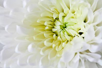 Photograph - Chrysanthemum by Ian Merton