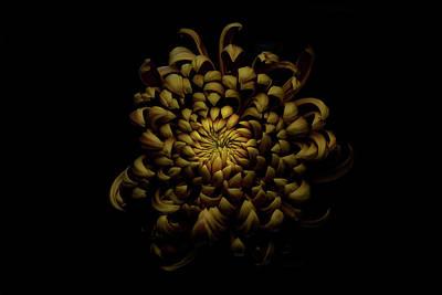 Chrysanthemum Wall Art - Photograph - Chrysanthemum by Lotte Gr??nkj??r