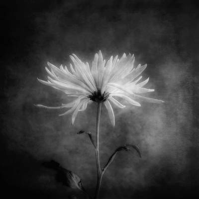 Photograph - Chrysanthemum In Black And White by Louise Kumpf