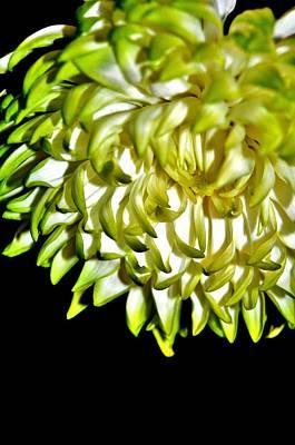 Photograph - Chrysanthemum by Michelle McPhillips