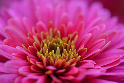 Photograph - Chrysanthemum by Mike Martin