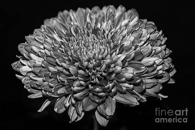 Photograph - Chrysanthemum Mono by Matt Malloy