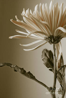 Photograph - Chrysanthemum Petals 2  by Jo Ann Tomaselli