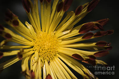 Photograph - Chrysanthemum by Richard J Thompson