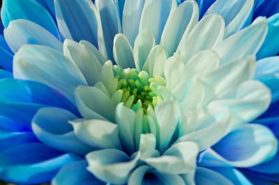 Chrysanthemum Art Print by Scott Carruthers