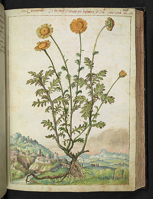 Physician Photograph - Chrysanthemum Sp. by British Library