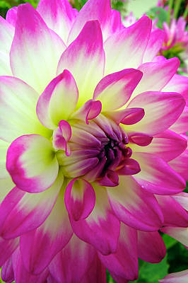 Photograph - Chrysanthemum by Thomas Hall