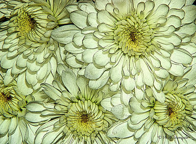Photograph - Chrysanthemum by Vickie Szumigala
