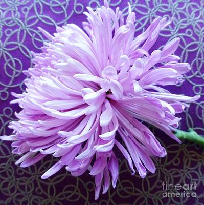 Photograph - Chrysanthemumcalm by Barbie Corbett-Newmin
