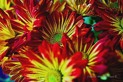 Photograph - Chrysanthemums by Charles Muhle