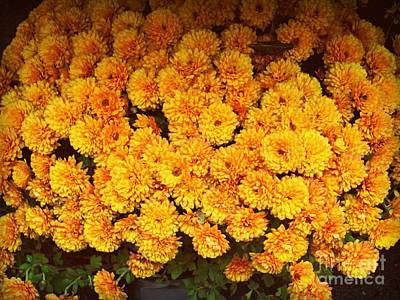 Photograph - Chrysanthemums - Harbingers Of Fall by Miriam Danar