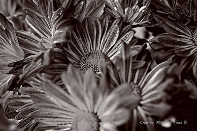 Photograph - Chrysanthemums In Sepia by Charles Muhle