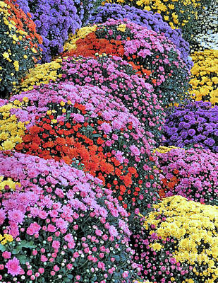 Photograph - Chrysanthemums by Janice Drew