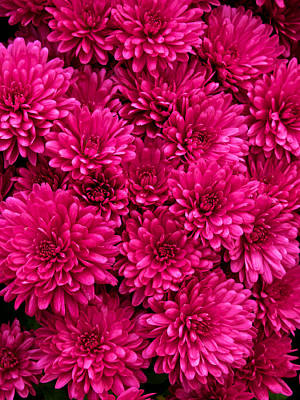 Chrysantheumums Art Print