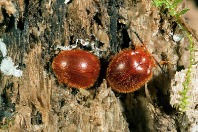 Ecuadorean Fauna Photograph - Chrysomelid Beetles by Dr Morley Read