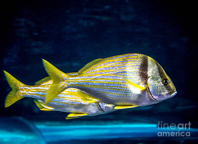 Photograph - Chub Fish by Cheryl Baxter