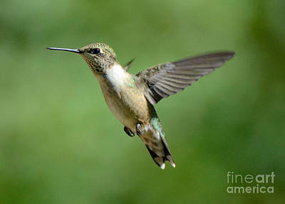 Photograph - Chubby Hummer by Amy Porter