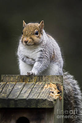 Photograph - Chubby Squirrel by Sonya Lang