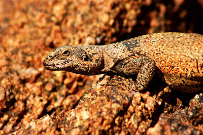 Photograph - Chuckwalla On Camelback by Daniel Woodrum