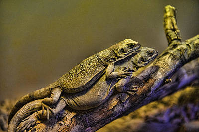 Photograph - Chuckwallas by Mark Newman