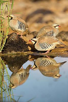Birds Of Israel Photograph - Chukar Partridge Alectoris Chukar by Photostock-israel